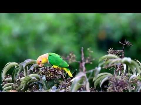 Marianinha de cabeça amarela_(Pionites leucogaster)_Alta Floresta_MT.