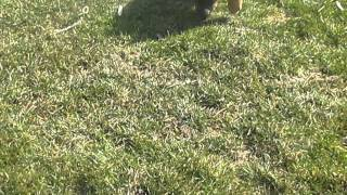 German Shepherd Puppies For Sale In Bird N Hand Pa.