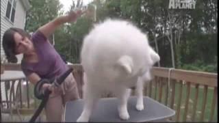 SAMOYEDO -  ABC CANINO - 101 DOGS - ESPAÑOL