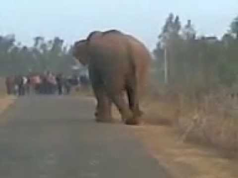 Elephant leader of Simlipal National Park attacking people.