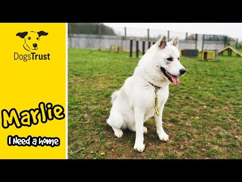 marlie-is-an-akita-who-loves-his-sand-pit-and-is-looking-for-a-home-|-dogs-trust-basildon
