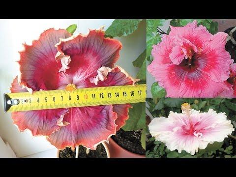 Гибискус китайский: самые красивые сорта китайской розы.