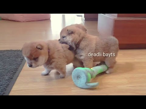 let the boopjidtsu begin / Shiba Inu puppies (with captions)