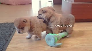 let-the-boopjidtsu-begin-shiba-inu-puppies-with-captions