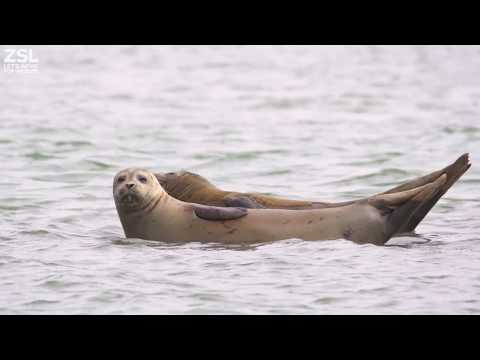 ZSL Conducts Seal Breeding Survey on the Thames 2018