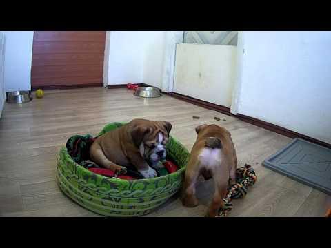 english bulldog puppies 3