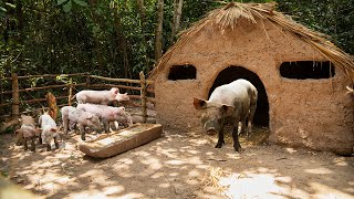 Rescue 7 Baby Wild Pigs with Mama Pig and Building safety Mud House For Pig Family