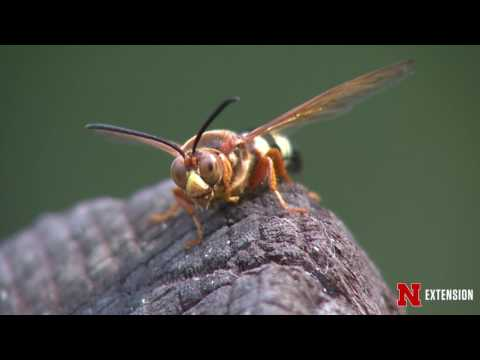 Cicada Killing Wasps