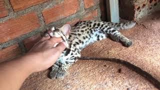 mèo rừng thuần chủng