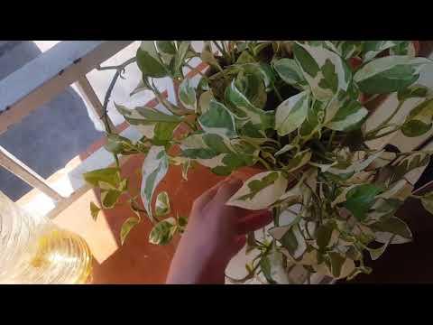 Весенняя пересадка комнатных растений.