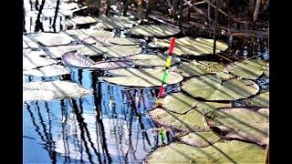 Ловля черного карася в лилиях! Рыбалка на поплавок как в детстве!
