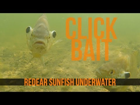 Redear Sunfish Aka Shellcrackers Underwater