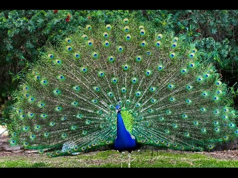 Farming of unique peacocks in Gujranwala | 24 News HD