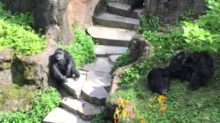 Chimps @John Ball Zoo(1 of 2)