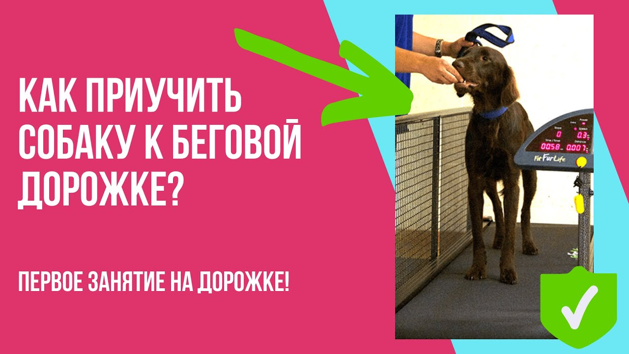 Как приучить собаку к беговой дорожке, чтобы она ее полюбила? Первое занятие и тренировка малинуа