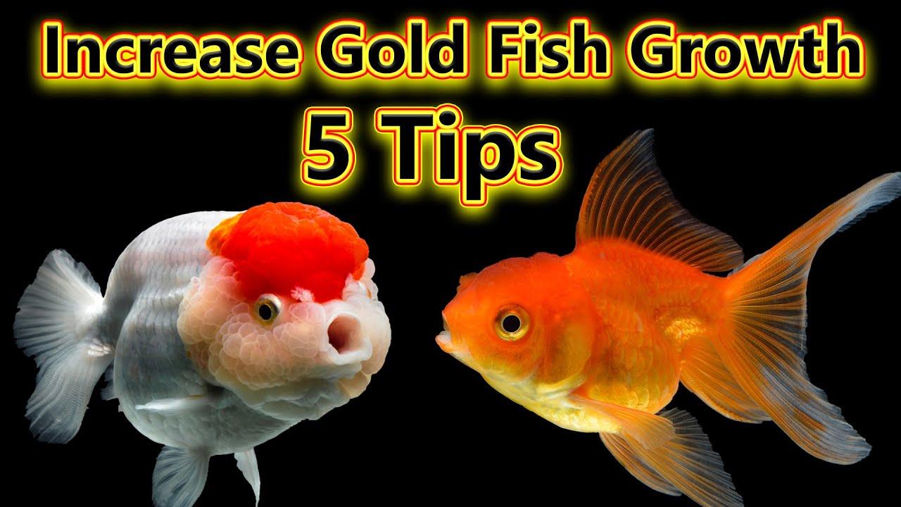சிறந்த 5 Tips... Increase Gold Fish Growth... why gold fish Growth is slow?... / Fish Aquarium Tamil