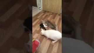 пьяные кошки ржач