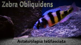 Zebra Obliquidens Care & Tank Set up Guide (Astatotilapia latifasciata)