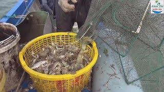 Thăm lú biển trúng đàn tôm tích quá đã P1   Shrimp