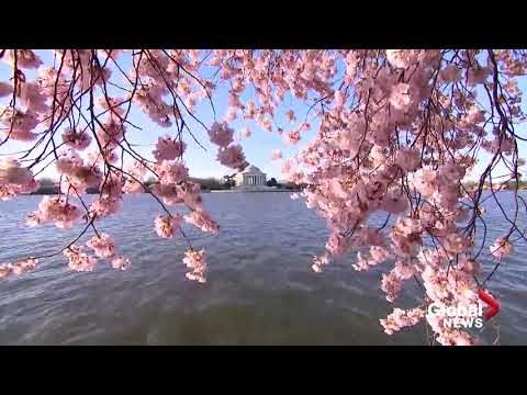The Cherry Blossoms are in full bloom in Washington, DC!