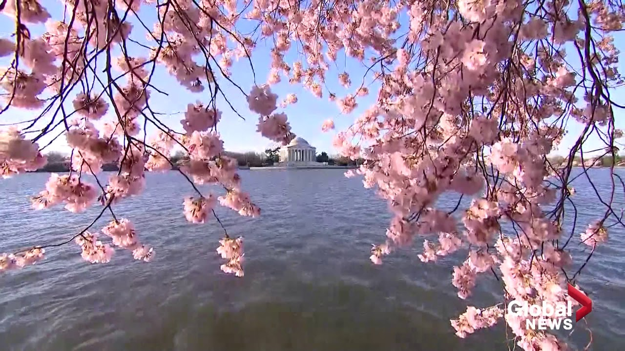 The Cherry Blossoms Are In Full Bloom In Washington Dc Youtube