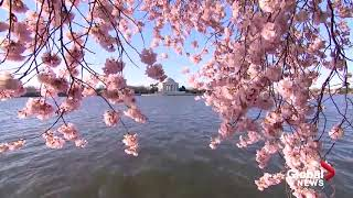 Baixar The Cherry Blossoms are in full bloom in Washington, DC!