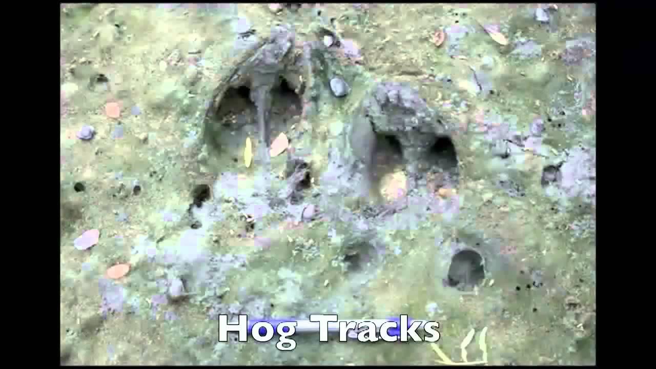 Identification of Deer and Feral Hog Tracks - YouTube