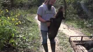 Man Catches Hog with Bare Hands- Where to Find WILD HOGS