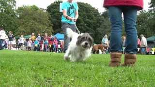 Funny! Dog spots master during the dog show