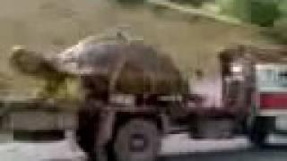 Таджикская черепаха ГИГАНТ