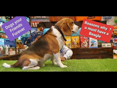 Messi a Perfect Beagle by Baadal Bhandaari Pathankot Punjab 9878474748  https://youtu.be/ZLEtU5ctmN