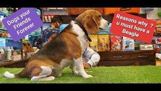 Messi a Perfect Beagle | By Baadal Bhandaari | Pathankot Punjab 9878474748