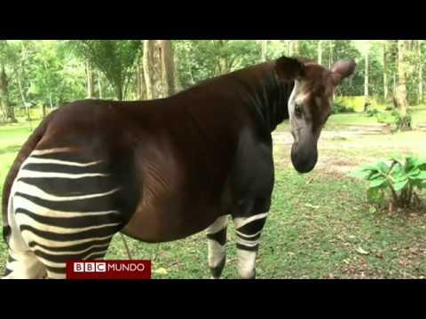 """Okapi - El """"unicornio de África"""""""