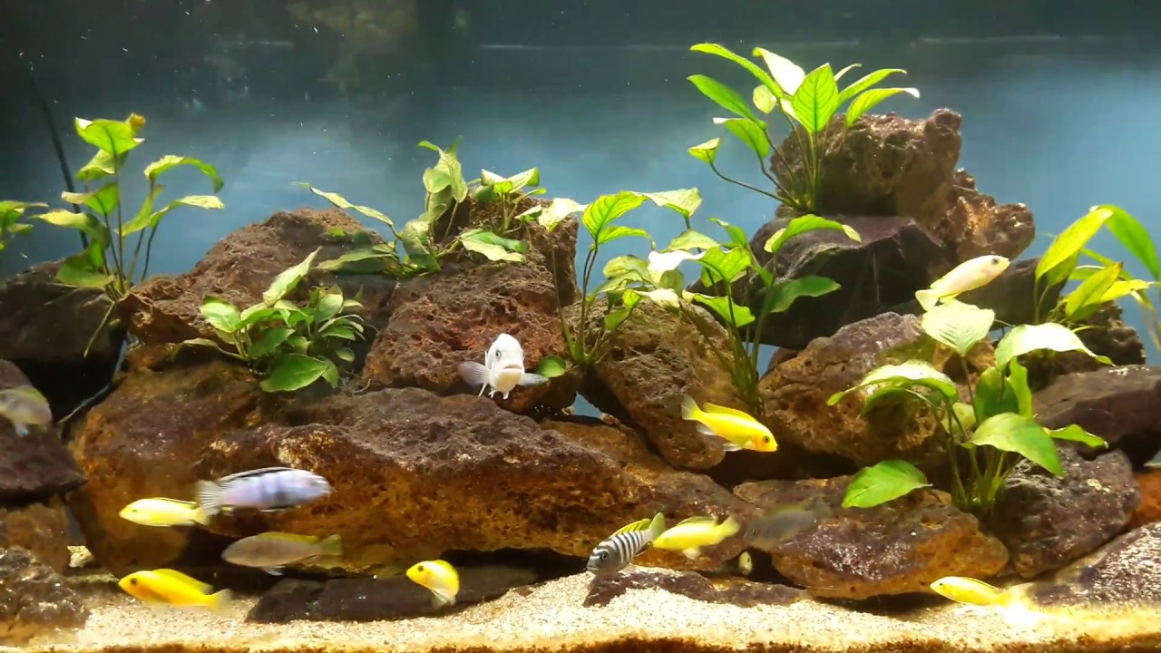 Aquarium 450l Cichlidés Du Lac Malawi Poissons Africains Youtube