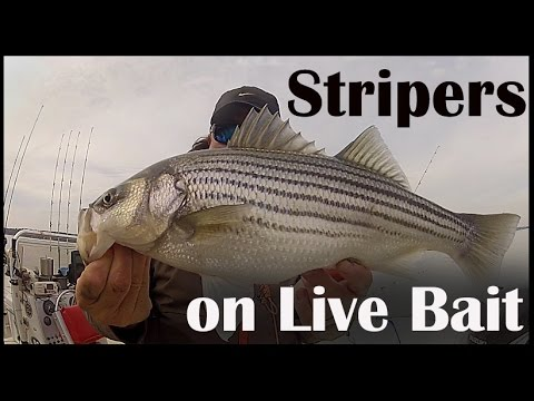 Striper fishing on lake wateree how to catch stripers on for Striper fish bait