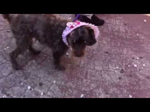 Blind Dog Escapes Funnycat Tv
