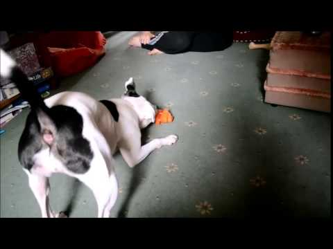 Staffordshire Bull Terrier going crazy with new toy!
