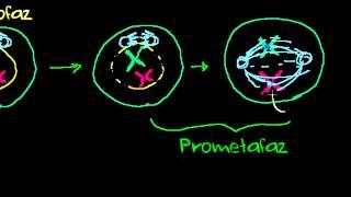 mitoz-blnmenin-evreleri-biyoloji-hcreler-biyoloji-hcreler