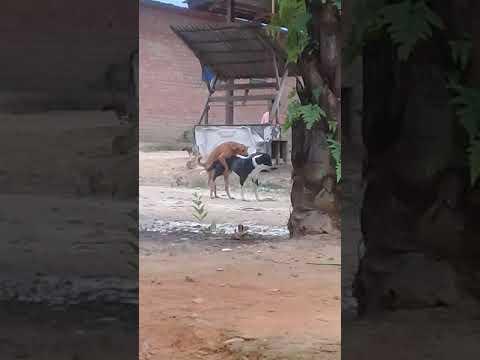 Porno anjing