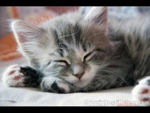 صوت قطة متوحشة