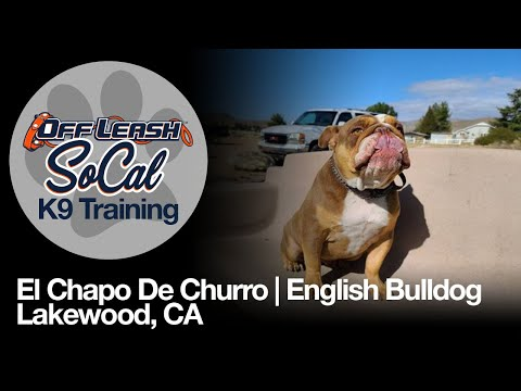 English Bulldog Off Leash Dog Training   El Chapo De Churro    Lakewood CA   Offleash SoCal