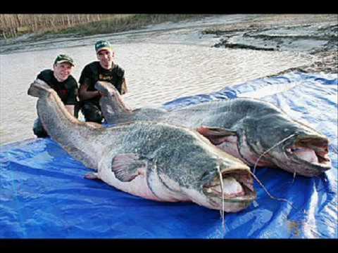 Worlds largest fish world record die gr ten fische for World largest fish