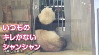 2019/8/21 トレーニングにキレがない?寝起きのシャンシャン Giant Panda Xiang Xiang
