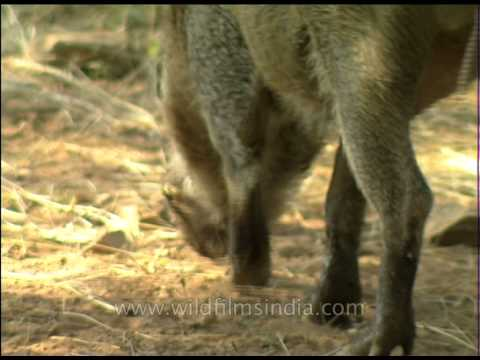 Wild Boar sniffing the ground, Sariska