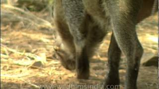 Wild Boar sniffing the ground, Sariska