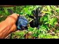Mikat Srigunting Pakai Dapat Dua Poin  Mp3 - Mp4 Download