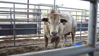 Cody Ohl is raising the son of 3X Bull of the Year, Bushwacker!