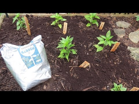 How to Use Organic Coffee Grounds in Your Garden & Get it for Free: Perfect for Tomatoes & Peppers!