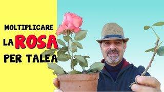 Download lagu RIPRODURRE LA ROSA PER TALEA IL MIO SEGRETO PER FARLA RADICARE PRIMA