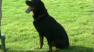 """Rottweiler Rescue Trust """"derek"""" 19th August 2012.mpg"""